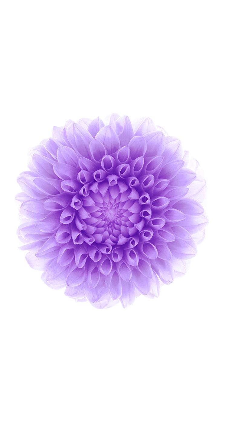 chrysanthemum - Wallect