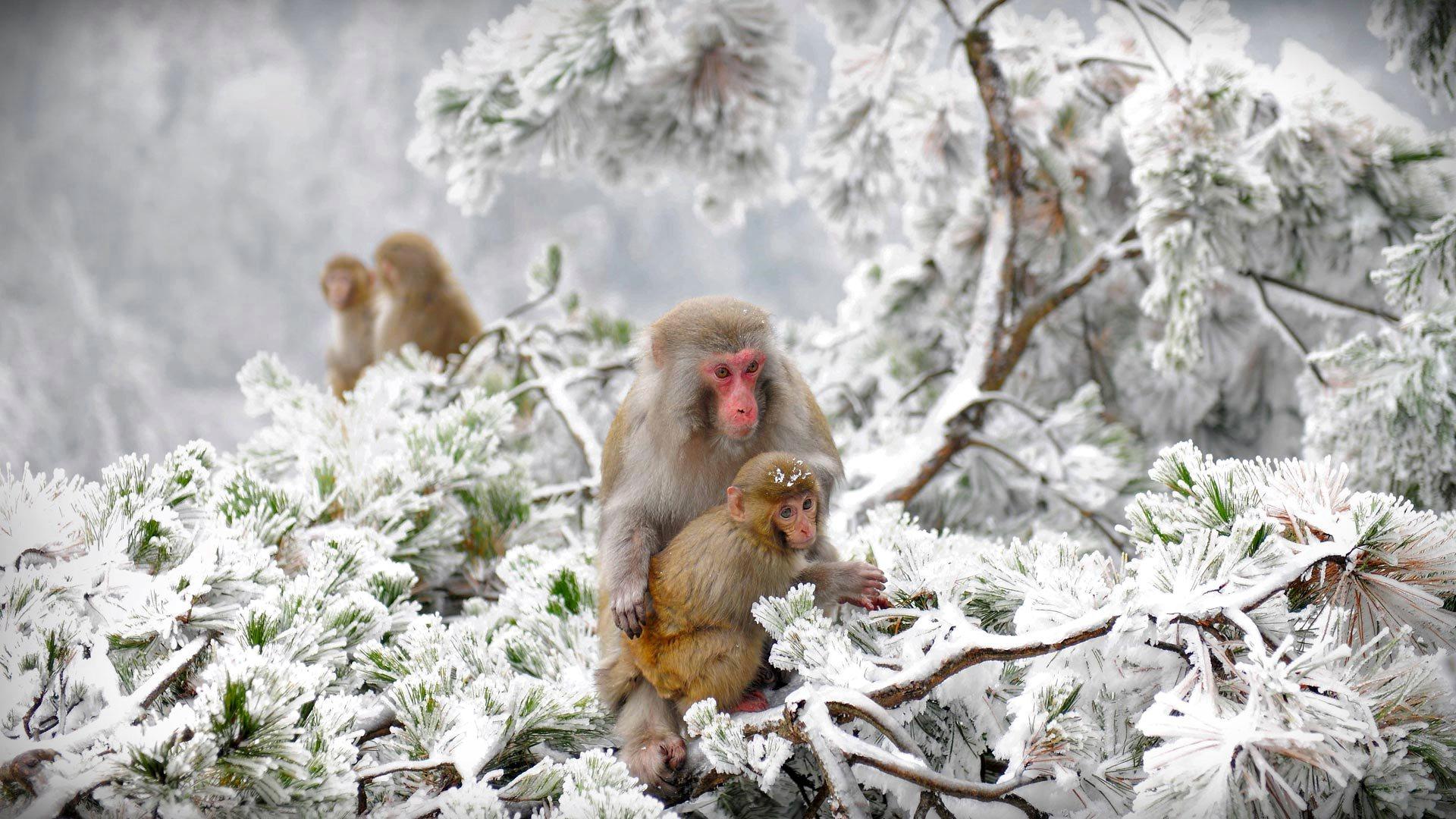 Macaques Wulingyua